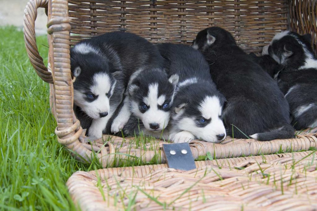 siberian husky puppies together in a basket